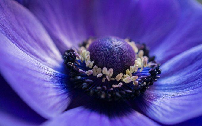anemone flower purple
