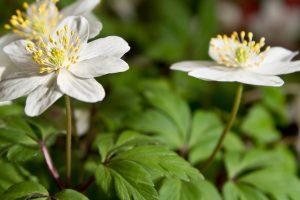 anemone flower white