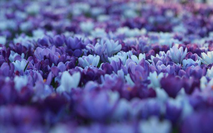 autumn crocus flower