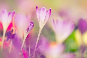 beautiful crocus hd