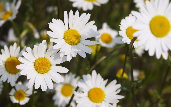 beautiful daisy pictures