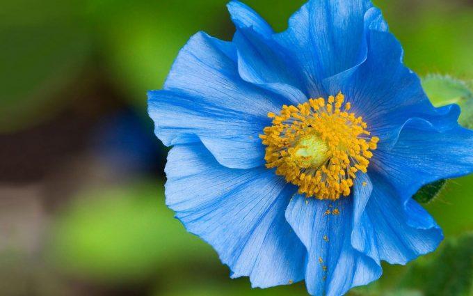 beautiful flower blue