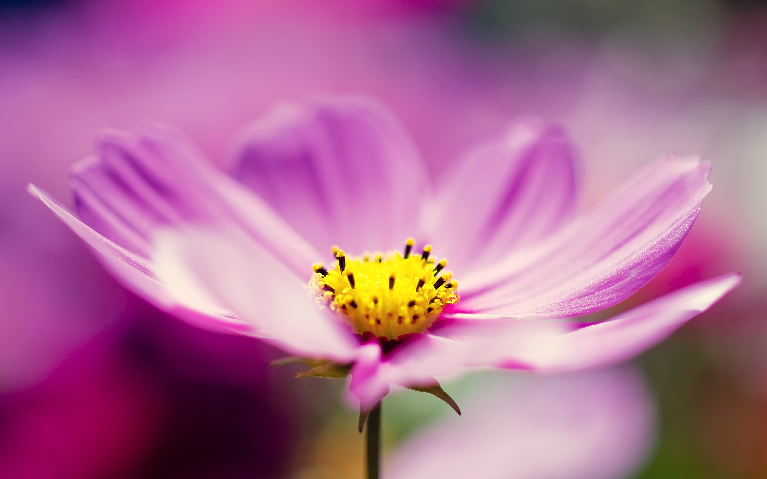 beautiful flower cosmos hd
