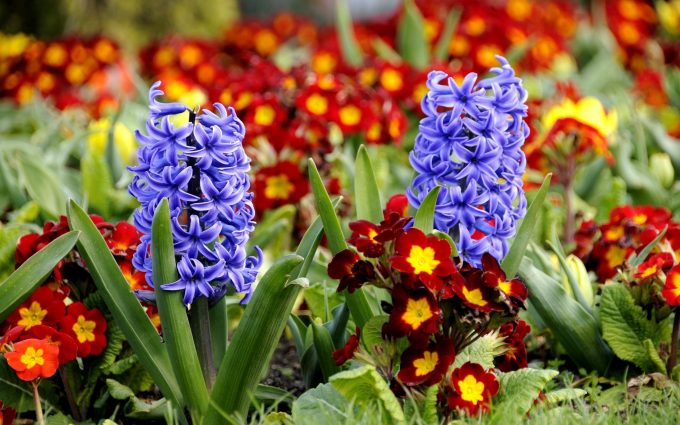 beautiful flower hyacinth