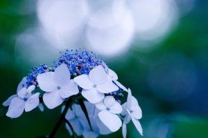 beautiful flower hydrangea
