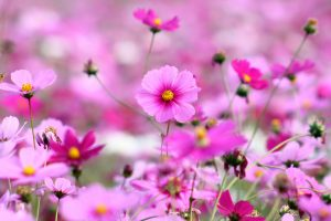 beautiful flower pictures A15