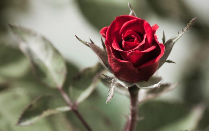 beautiful flower screensaver