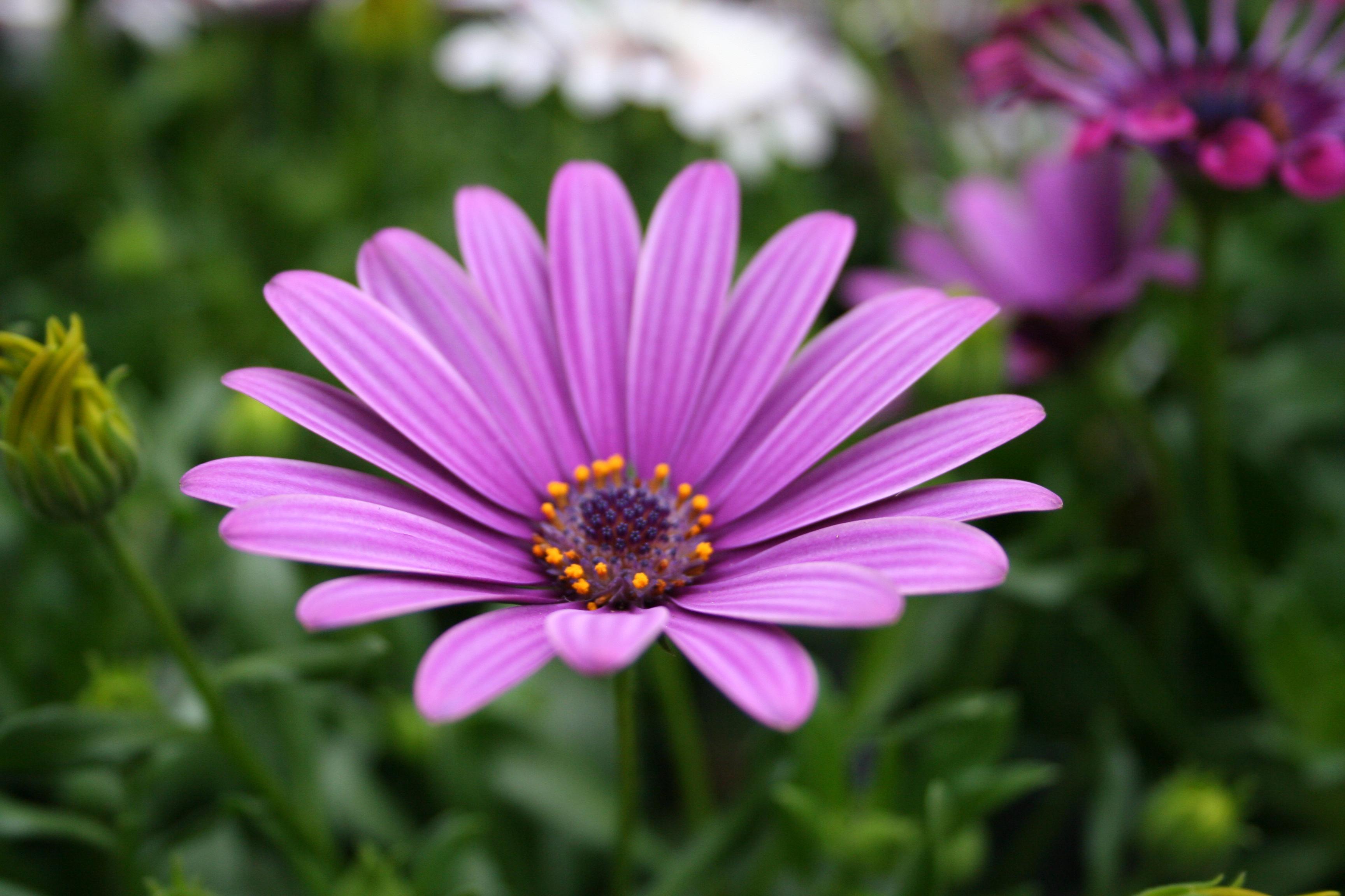 beautiful flowers A7