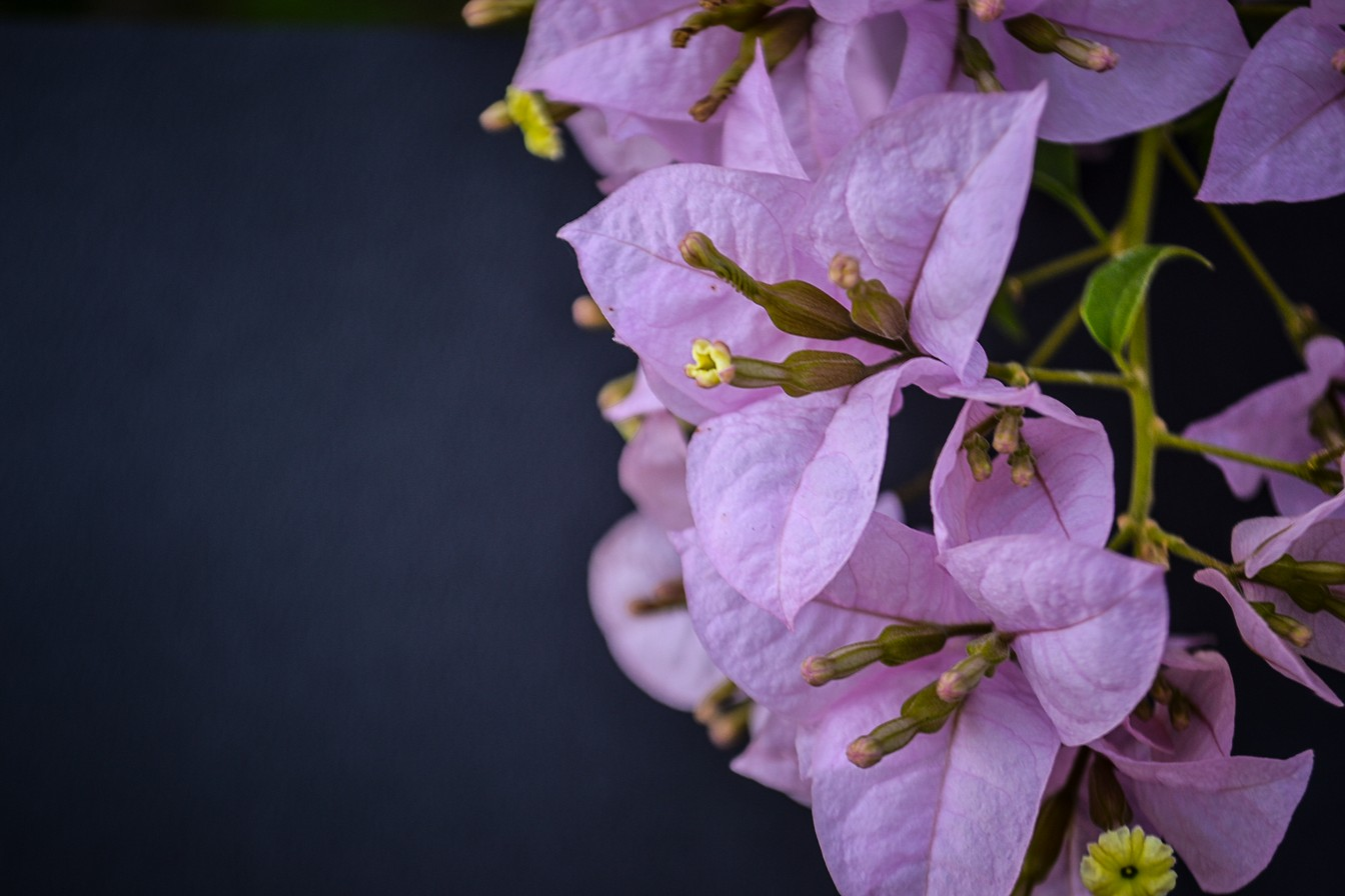 beautiful flowers bougainvillea