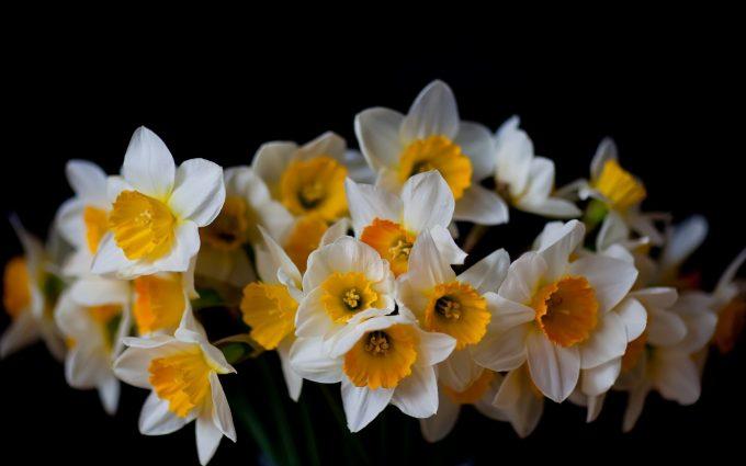 beautiful flowers daffodils