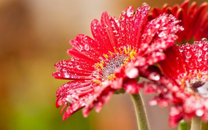 beautiful flowers daisies