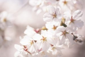 beautiful flowers hd cherry