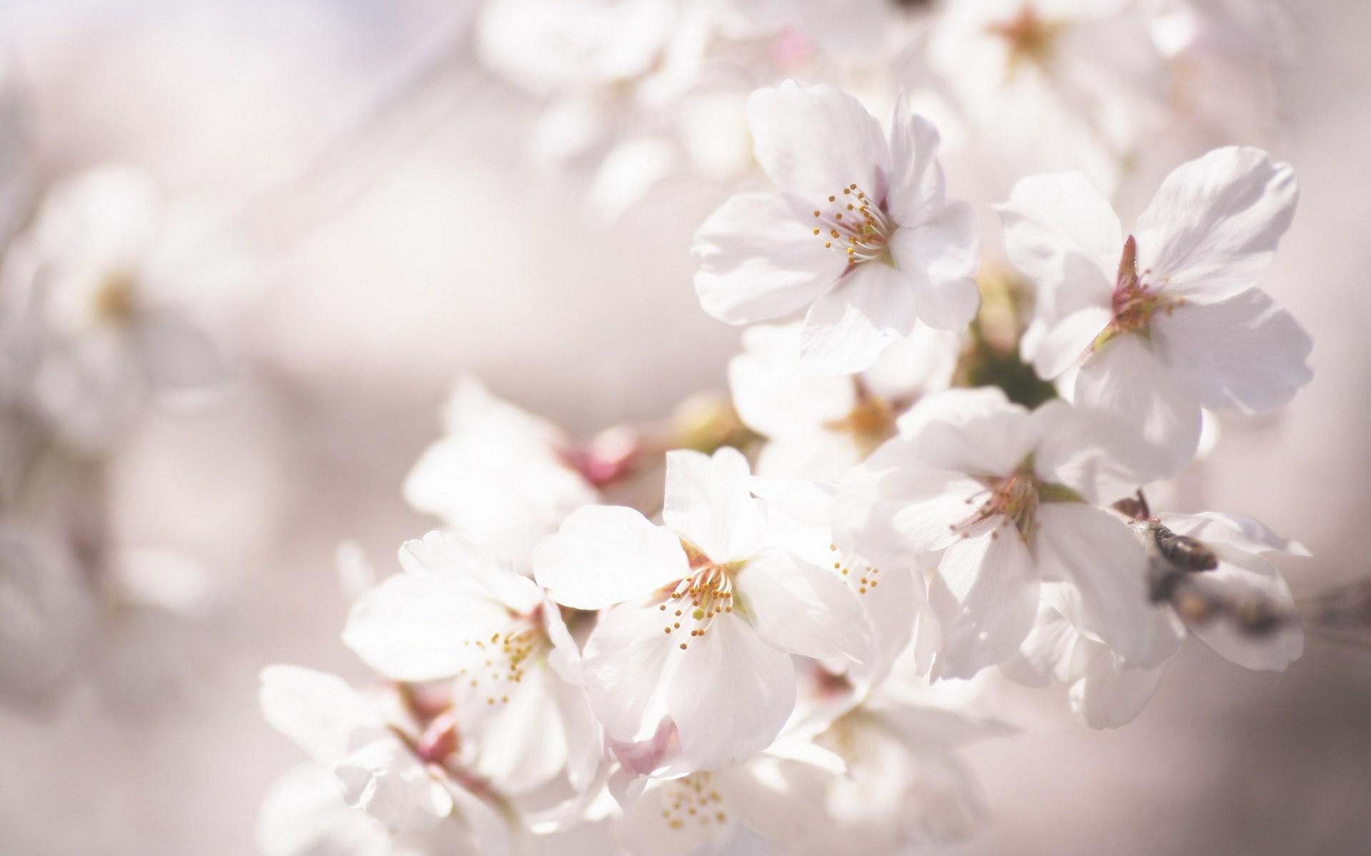 beautiful flowers hd cherry