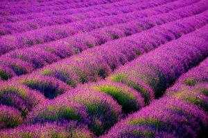 beautiful flowers hd lavender