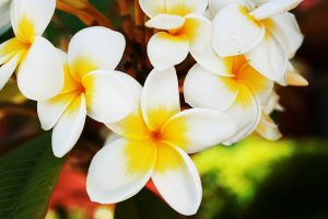 beautiful flowers hd plumeria