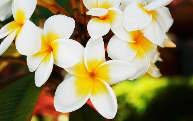 beautiful flowers hd plumeria