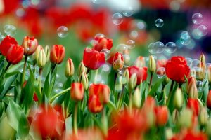 beautiful flowers hd red