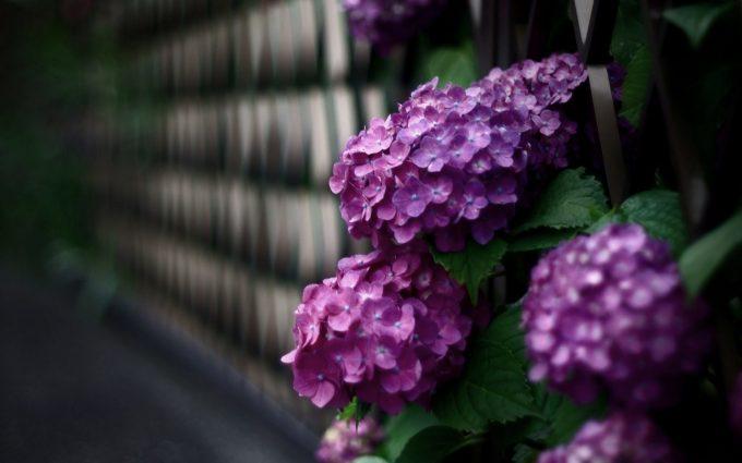 beautiful flowers hydrangea