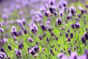 beautiful flowers lilac