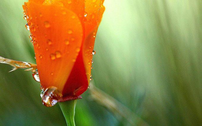 beautiful flowers orange