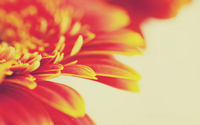 beautiful flowers orange macro