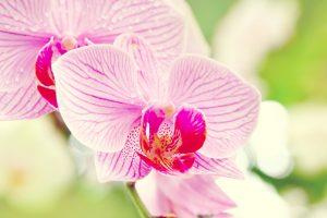 beautiful flowers phalaenopsis