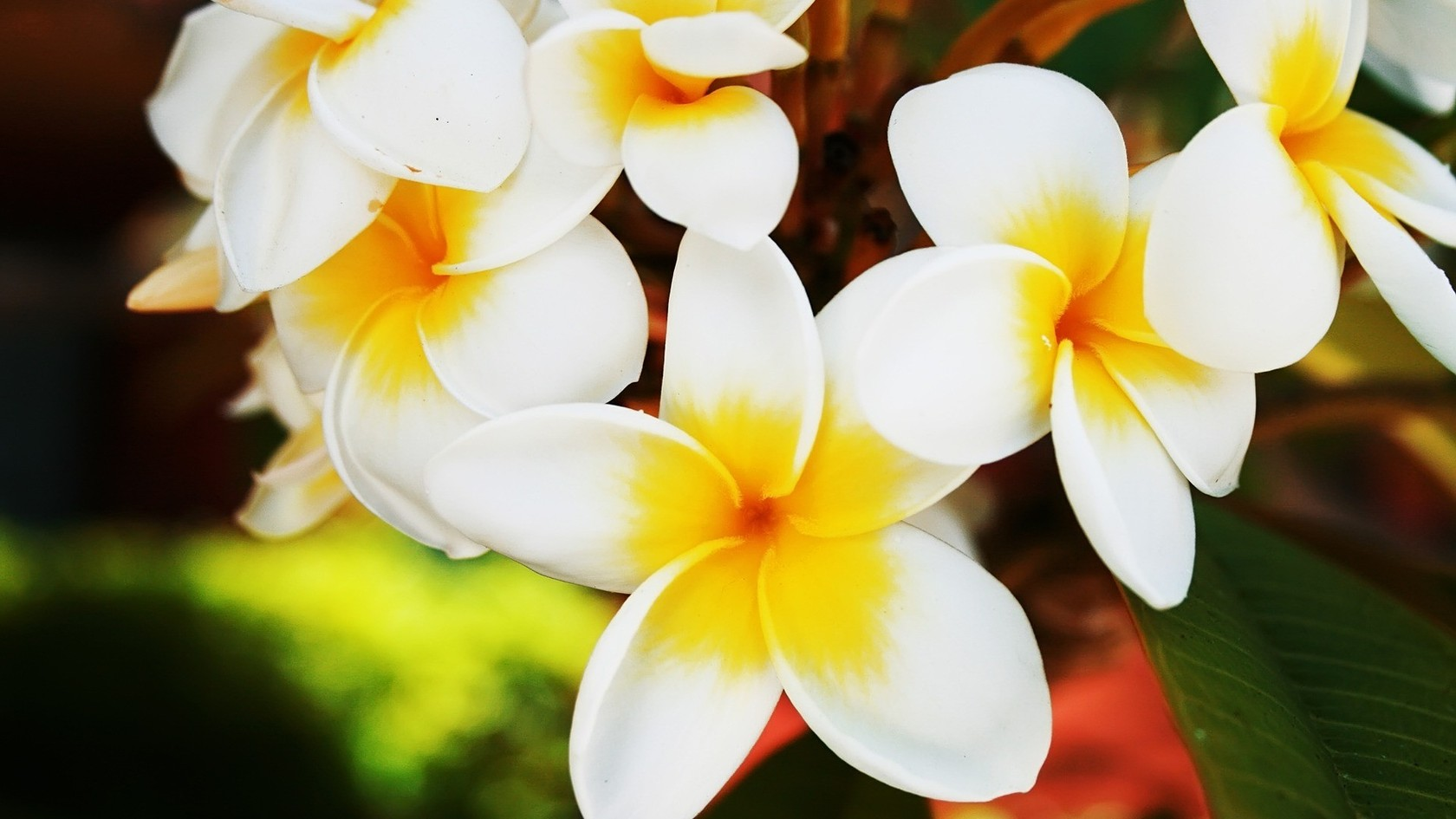 beautiful flowers plumeria