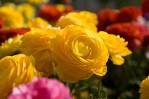 beautiful flowers yellow A2