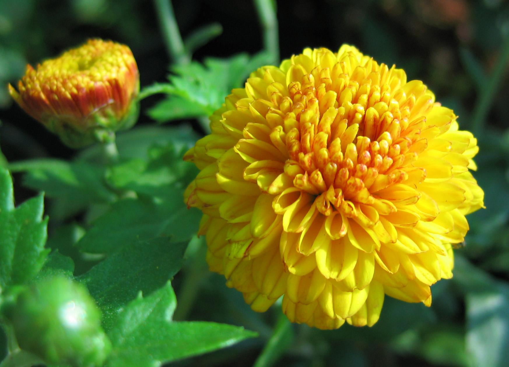 beautiful flowers yellow A3