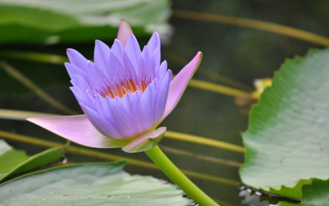beautiful lotus flower pictures