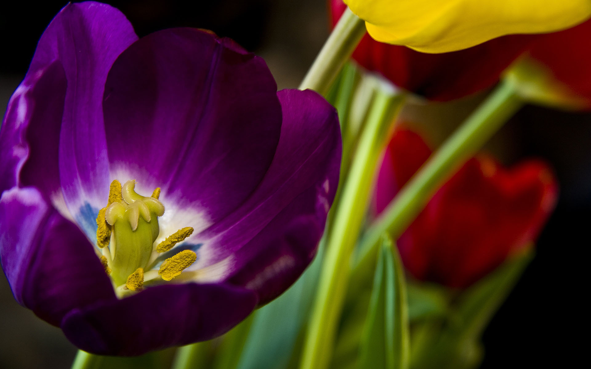beautiful pictures of tulip flowers