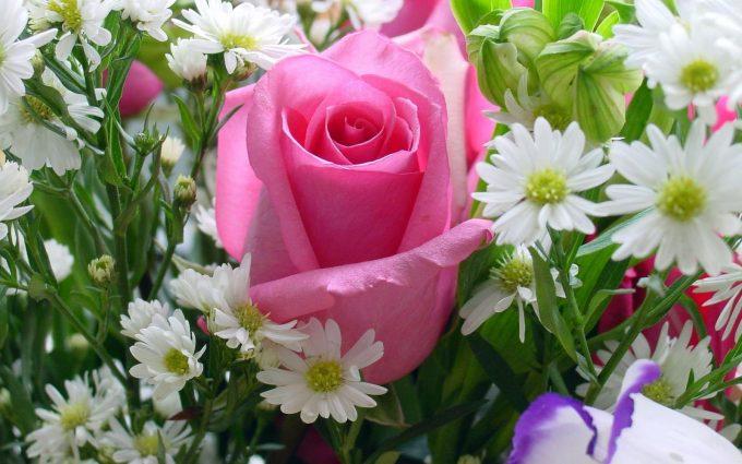 beautiful pink rose wallpaper