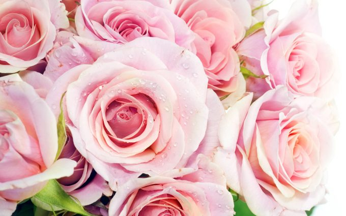 beautiful pink roses wallpapers