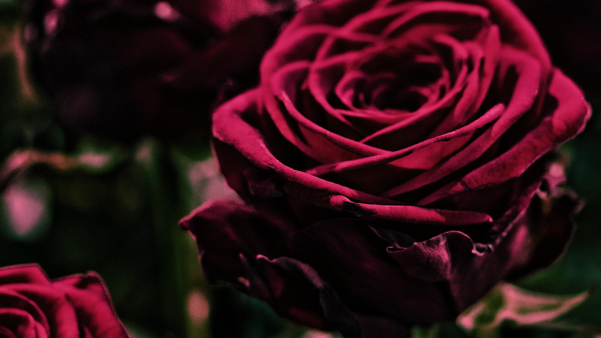 Velvet Rose HD Desktop Background