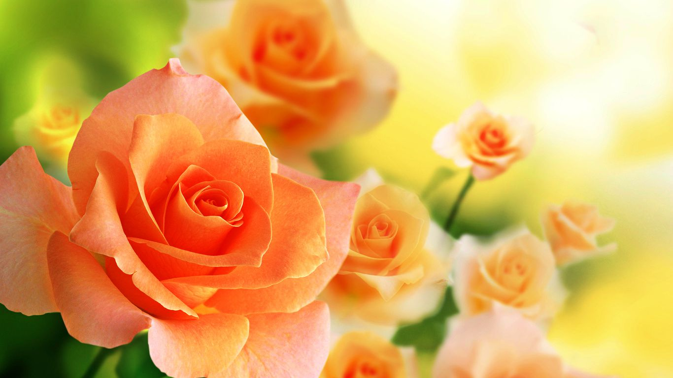 beautiful roses wallpaper