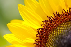 beautiful sunflowers wallpapers
