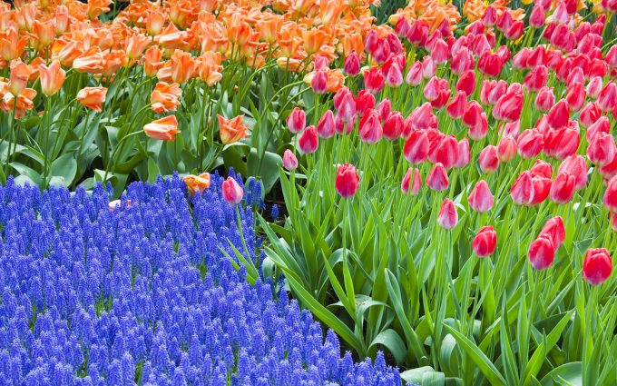 04 May 2010, Lisse, Netherlands --- Grape hyacinth and tulips at Keukenhof Gardens --- Image by © Frank Lukasseck/Corbis
