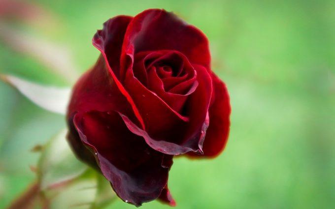 best red rose wallpaper