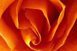 best roses wallpaper