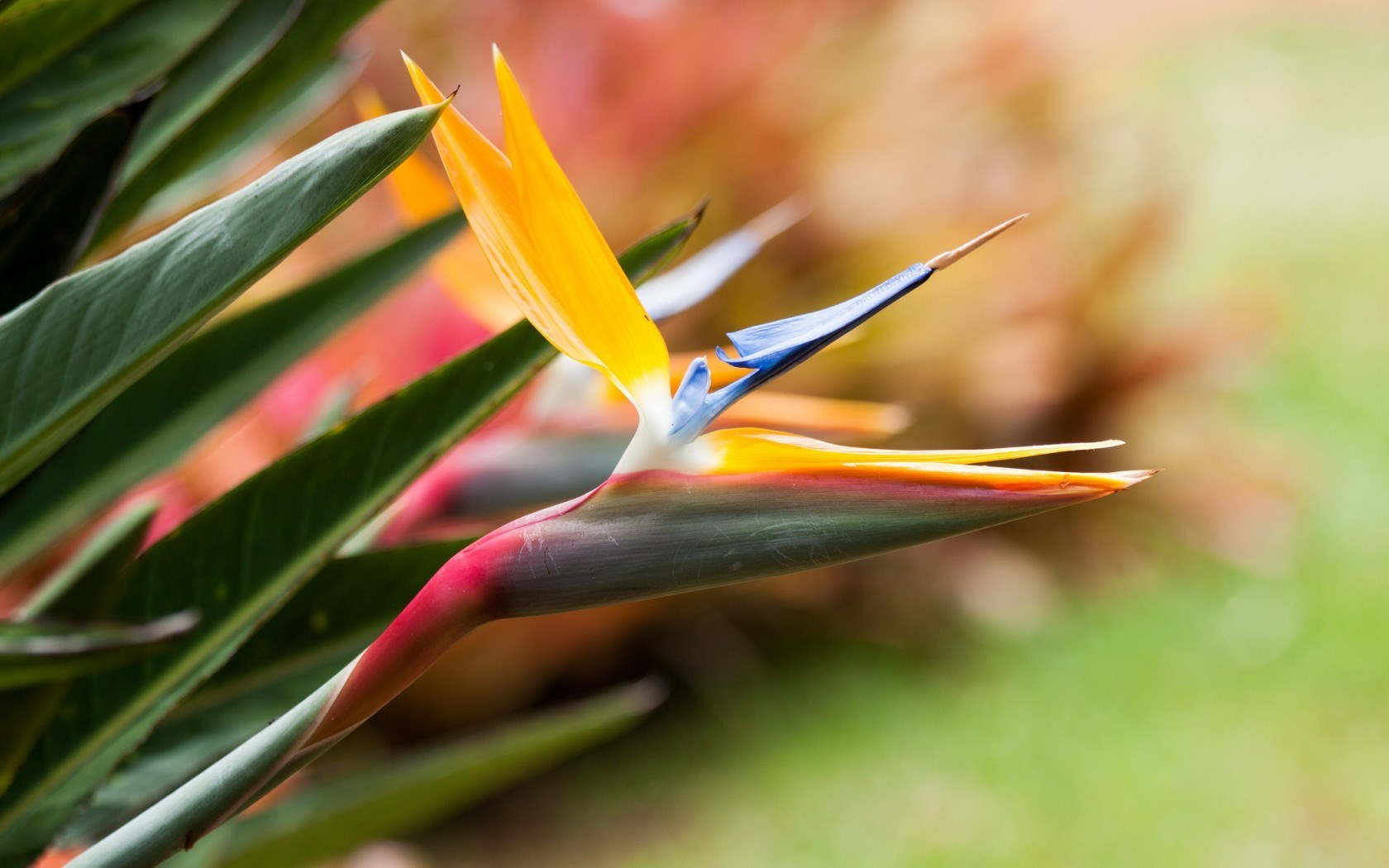bird of paradise flower wallpaper