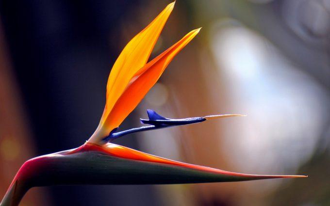 bird paradise flower