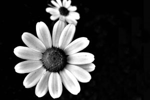 black and white photos of flowers