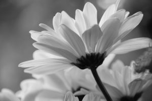 black white daisy
