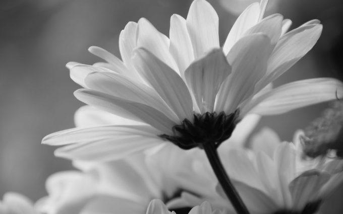 black white daisy