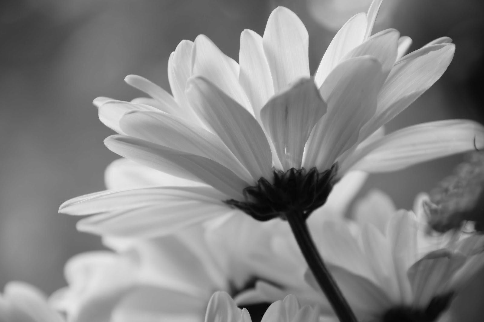 black white daisy - HD Desktop Wallpapers | 4k HD