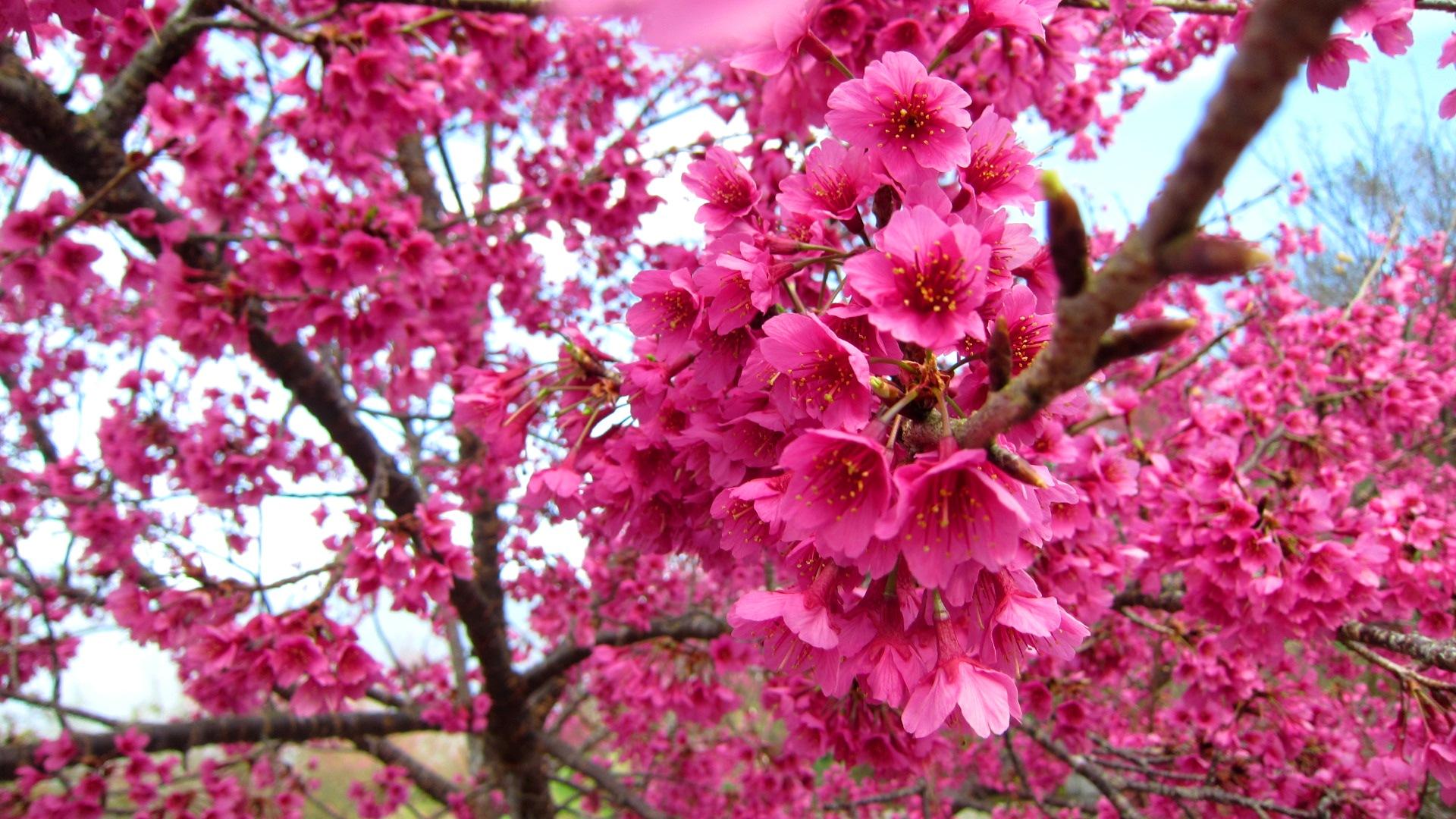 blossom A2