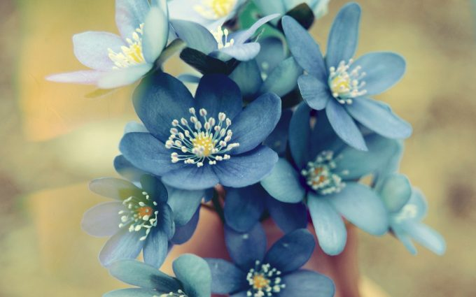 blue flowers desktop