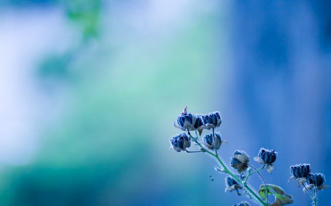 blue flowers desktop backgrounds