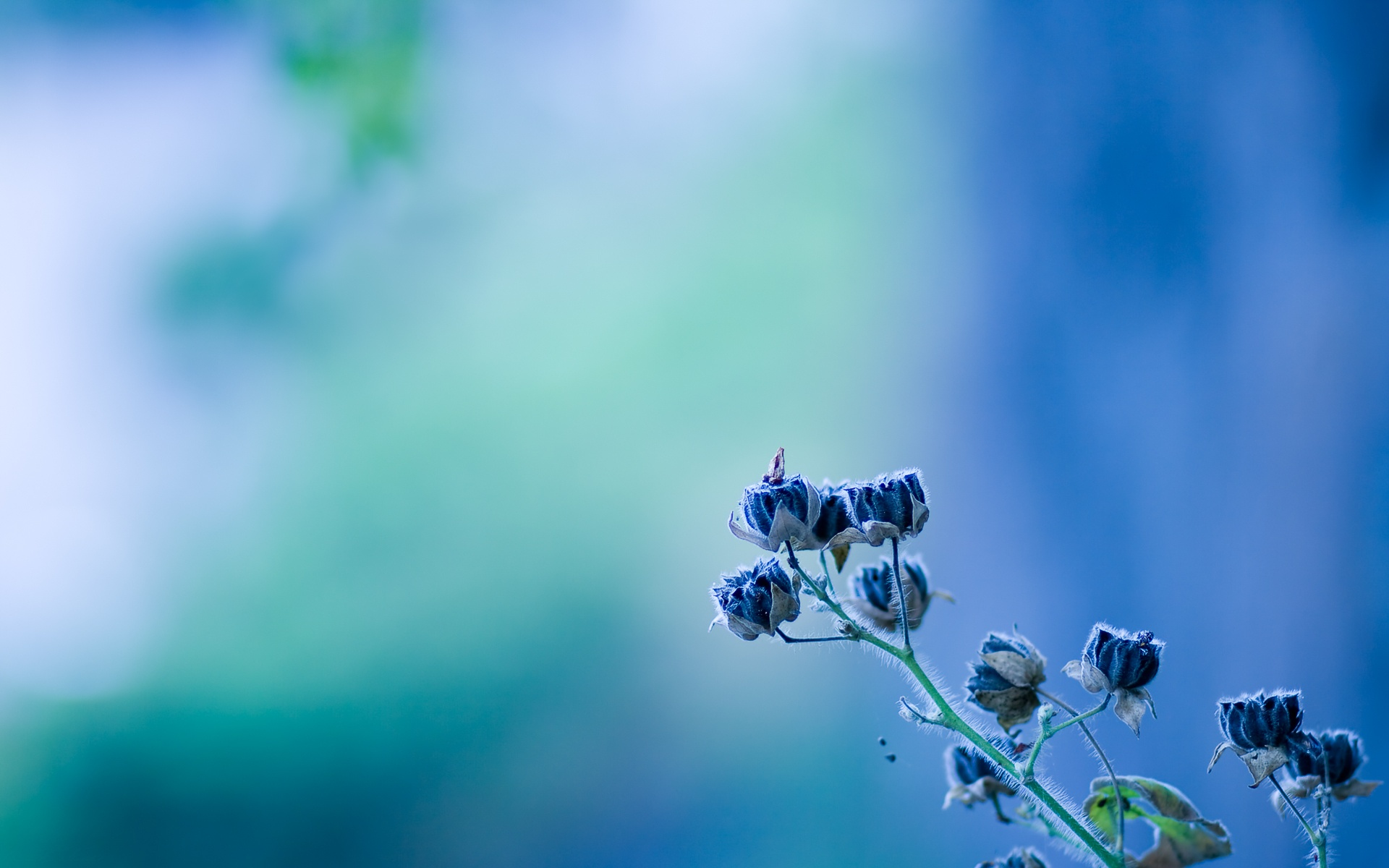blue flowers desktop backgrounds