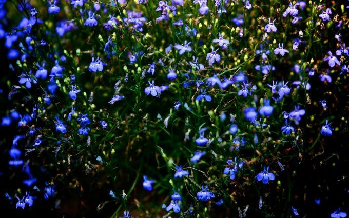blue flowers field